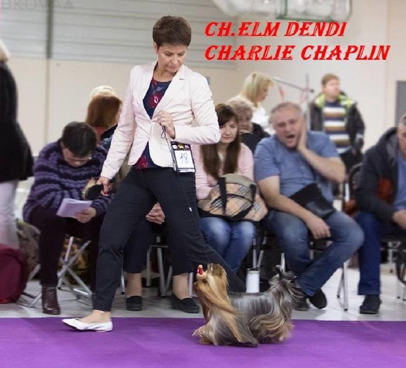 Йоркширский терьер - Эльм Денди Чарли Чаплин